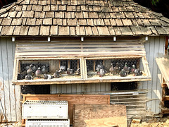 """All Cooped Up"" (Halvorsong) Tags: farm farming birds animals pigeon pigeons coop wire frame framed rural usa america projectamerica country countrylife cool outdoor outside aviary nature husbandry building halvorsong composition art classic oldschool explore discover wood"