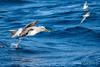 Bullers Mollymawk 2 (Hickenbothom) Tags: bullers mollymawk thalassarche bulleri toroa albatross seabird pleagic bird ocean