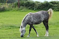 IMG_1734 (LezFoto) Tags: canoneos700d sigma 700d canon 120400mmf4556dgapooshsm digitalslr dslr canonphotography sigmalens horse aberdeenshire scotland unitedkingdom arabian arabhorse