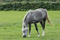 IMG_1732 (LezFoto) Tags: canoneos700d sigma 700d canon 120400mmf4556dgapooshsm digitalslr dslr canonphotography sigmalens horse aberdeenshire scotland unitedkingdom arabian arabhorse