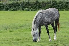 IMG_1731 (LezFoto) Tags: canoneos700d sigma 700d canon 120400mmf4556dgapooshsm digitalslr dslr canonphotography sigmalens horse aberdeenshire scotland unitedkingdom arabian arabhorse