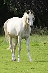 IMG_1726 (LezFoto) Tags: canoneos700d sigma 700d canon 120400mmf4556dgapooshsm digitalslr dslr canonphotography sigmalens horse aberdeenshire scotland unitedkingdom arabian arabhorse