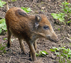 Junges Wildschwein (anubishubi) Tags: lumixfz150 säuger säugetier schwein wildschwein frischling