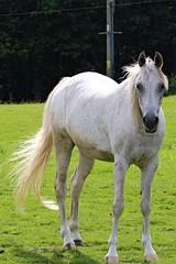 IMG_1697 (LezFoto) Tags: canoneos700d sigma 700d canon 120400mmf4556dgapooshsm digitalslr dslr canonphotography sigmalens horse aberdeenshire scotland unitedkingdom arabian arabhorse