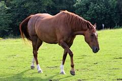 IMG_1692 (LezFoto) Tags: canoneos700d sigma 700d canon 120400mmf4556dgapooshsm digitalslr dslr canonphotography sigmalens horse aberdeenshire scotland unitedkingdom arabian arabhorse