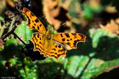 naamloos-50.jpg (Hans Stijntjes) Tags: vlinder natuur