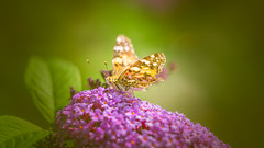 butterfly bush (Dhina A) Tags: sony a7rii ilce7rm2 a7r2 a7r samyang 135mm f20 f2 samyang135mmf20 bokeh bokehlicious smooth soft creamy manualfocus butterfly bush