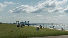 vor dem Hafen (Sylsine) Tags: deutschland tiere hafen nordsee schleswigholstein schafe nordstrand deich nordfriesland
