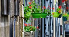 La ligne verte et rouge (olivier.amiaud) Tags: fleur géranium pot volet fenêtre mur ligne alignement village rue rouge vert couleur nikon d800 explore inexplore explored wall shutter