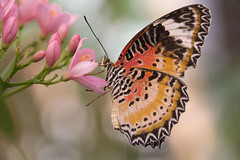 Spitzenflügel (Cethosia biblis) (heinrich.hehl) Tags: natur fauna schmetterling spitzenflügelcethosiabiblis blüte makro macro blossom butterfly nature