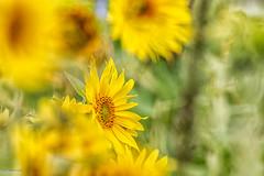 12082019-DSC_0021 (vidjanma) Tags: 1fleur bokeh jaune tournesol