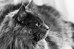 Mistigri (olivier.amiaud) Tags: cat cats chat chats animal mammifère portrait nikon d800 félin poil moustache