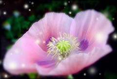 Popping Pink Poppies (Pufalump) Tags: pink poppies poppy magical sparkling flower delicate macro pretty garden pale purple floaty popping pop sweet beauty lilac petals blurr blurry