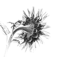 Sunflower and Grain (photofitzp) Tags: artyfarty bw blackandwhite flowers grain noise sunflower