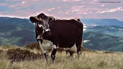 Une Vosgienne sur la vallée de Munster (Patabois) Tags: vosges alsace munster vache lait montagne prairie