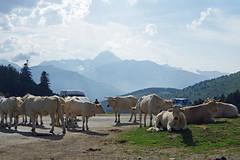 17h48, col d'Aspin : les manifestantes occupent toujours la route (bernarddelefosse) Tags: coldaspin hautespyrénées occitanie france vache paysage