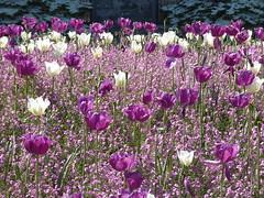 Purple and white tulips (seikinsou) Tags: brussels belgium bruxelles belgique spring cinquantenaire park flower blossom pink forgetmenot purple white tulip