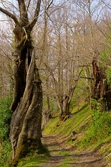 Old chestnut trees observe carefully to the hiker (Jano_Calvo) Tags: tree a6000 rural village hiking ilce 1650mm parada courel trail flowers meadow chestnut colourful forest moreira galicia lugo mountains serra grass countryside sonyflickraward mirrorless town nature farm landscape trees hiker ourense green sony alpha