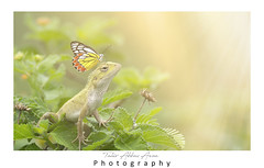 Butterfly on Oriental garden lizard (T@hir'S Photography) Tags: butterfly oriental garden lizard sunrise nature outdoor deliaseucharis thecommonjezebel sitting head danger animal animalantenna animalwildlife butterflyinsect closeup extremecloseup flower horizontal insect lepidoptera limebutterfly macrophotography multicolored nopeople photography poinsettia backgrounds beauty beautyinnature bright closed colors flowerhead flowerbed folded morning orangecolor pollination striped textured unhygienic variation vibrantcolor whitecolor yellow