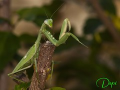 Mantis (Dopior) Tags: mantis insecto macros
