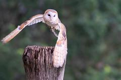 Abflug (markusgeisse) Tags: flug vogel eule schleiereule bird flight fly raubvogel greifvögel owl teleobjektiv tamron sony wildvögel tier animals