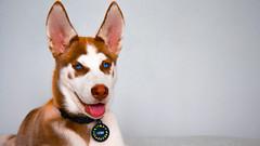 Symmetrical (anlgngr7) Tags: blue red dog dogs animal animals canon lens eos is eyes husky wolf kurt ears huskies ear usm siberian nano köpek kırmızı sibirya köpekler kızıl 18135mm 77d