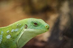 Iguane vert des îles Fidji (vostok 91) Tags: vostok91 lézard canon canonef70300mmf456isusm eos40d