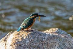 Tulžys / Alcedo atthis / Common kingfisher (Jonas Juodišius) Tags: lietuva lithuania vilnius verkiai verkiuparkas turniškiųupelis tulžys alcedoatthis commonkingfisher eurasiankingfisher