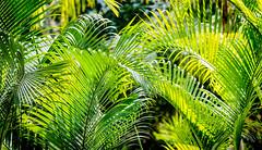 PalmWaves.jpg (Klaus Ressmann) Tags: omd em1 abstract china hongkong klausressmann leaves nature winter design flcabsnat palmtree omdem1