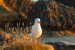A seagull enjoying the sunset from a cliff above the Oregon coast (danbriscoephotography) Tags: oregon coast seagull bird cliff rocky ledge seascape sunset ocean pacific newport sealrock pacificnorthwest pnw beach