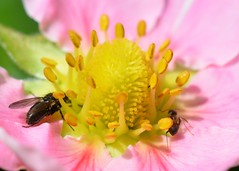 Strawberry Delight (suekelly52) Tags: fly diptera ant insect strawberryflower flower plant macro pollination beautifulbugbuttthursday