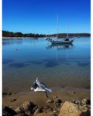 Bay Seagull 1 (caralan393) Tags: gull seagull bb yacht clear water reflection