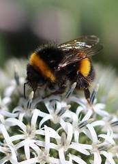 BEE ON FLOWER (the.haggishunter) Tags: garden insect bee flower thistle macro beeautiful smileonsaturday
