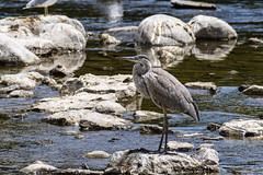 An afternoon at Strathcona park watching birds. (runningman1958) Tags: nikon d7200 nikond7200 birds nature avian strathconapark ottawa heron blueheron