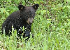 Black Bear cub...#20 (Guy Lichter Photography - 5.1M views Thank you) Tags: canon 5d3 canada manitoba rmnp wildlife animal animals mammal mammals bear bears blackbear cub