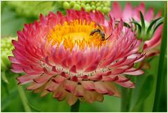 Diggin' in ... (Jan Gee) Tags: batemans burwash garden tuin flower insect bee bij wesp wasp bloem colourful macro colorful colors blume fleur closeup floral kent petals
