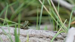 A Small Adventure (jakegurnsey) Tags: wildlife sony nature canada ontario frog greenfrog kingston grassland green amphibian summer