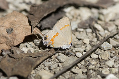 Butterfly 2019-108 (michaelramsdell1967) Tags: butterfly butterflies nature macro animals animal insect insects orange brown white ground rocks leaves beauty beautiful pretty lovely vivid vibrant detail delicate fragile bug bugs wildlife outdoors upclose closeup zen