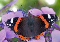 Red Admiral (yamahagarn) Tags: northernireland belfast mygarden butterfly redadmiral vanessaatalanta