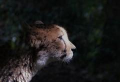 guépard portrait (Bushcraft.Eure) Tags: wildlifephoto wildlifephotography normandie normandy animals france wild sony oss sonya6000 sonye epz18105mmf4goss 18105mm sel18105g ilce6000 guépard acinonyx jubatus acinonyxjubatus cerza