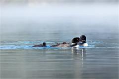 Family of Loons (soupie1441) Tags: loon loons bird wildlife nature animal water lake kearney ontario canada nikon d7200 70300mm nikkor summer 2019