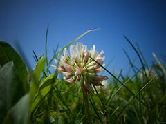 De tan poco tanto (Luicabe) Tags: airelibre cabello calle césped cieloazul enazamorado exterior flor hierba jardín luicabe luis macrofotografía naturaleza ngc planta suelo trébol trifolium yarat1 zamora