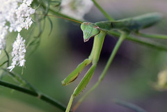 811_4654.jpg=080419T (laurie.mccarty) Tags: prayingmantis nature naturephotography nikond810 tamron90mmf28