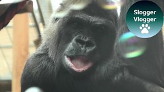 Gorilla Catches Soap Bubbles (SloggerVlogger) Tags: gorilla catches soap bubbles
