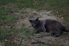 Gray Cat (Flexible Negativity) Tags: 猫 cat 貓 meow ねこ caturday nuko k70 pentax graycat