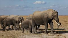 The Leading Trunk (AnyMotion) Tags: africanelephant afrikanischerelefant loxodontaafricana amboseligamereserve 2011 anymotion kenya kenia africa afrika animal animals tiere nature reisen travel wildlife 5d2 canoneos5dmarkii