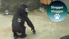 Gorilla Mum And Her Baby Try To Catch Soap Bubbles (SloggerVlogger) Tags: gorilla mum and her baby try to catch soap bubbles
