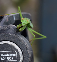 811_4907.jpg=080419T1 (laurie.mccarty) Tags: prayingmantis nature naturephotography macro bokeh