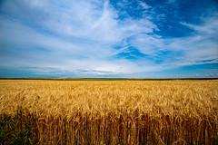 Alberta Wheat & Sky (djking) Tags: wheat sky canada alberta field