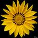Yellow Gazania - Gazanie jaune